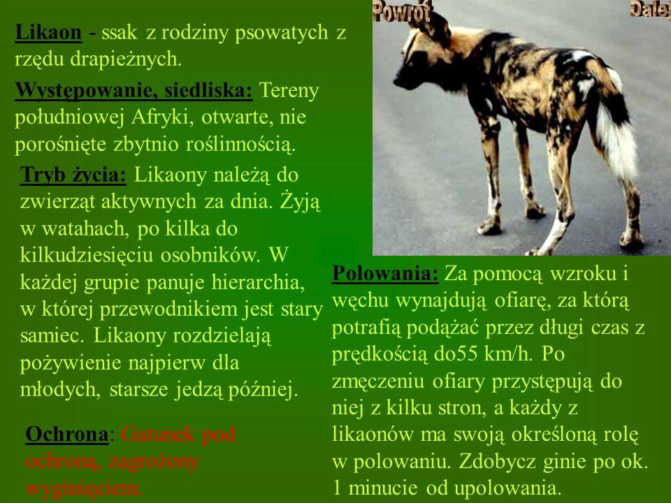 Likaon - ssak z rodziny psowatych z rzędu drapieżnych.