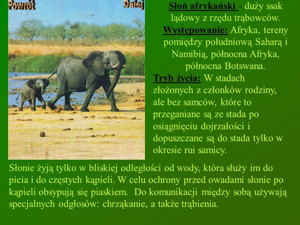 Słoń afrykański - duży ssak lądowy z rzędu trąbowców.