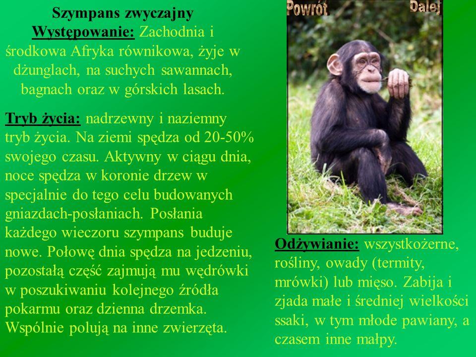 Szympans zwyczajny Występowanie: Zachodnia i środkowa Afryka równikowa, żyje w dżunglach, na suchych sawannach, bagnach oraz w górskich lasach.
