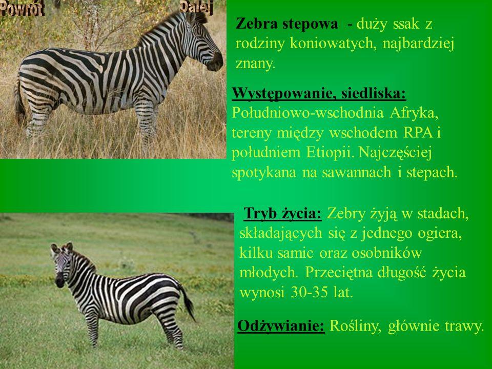 Zebra stepowa - duży ssak z rodziny koniowatych, najbardziej znany.
