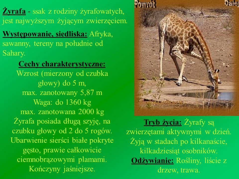 Cechy charakterystyczne: Wzrost (mierzony od czubka głowy) do 5 m,