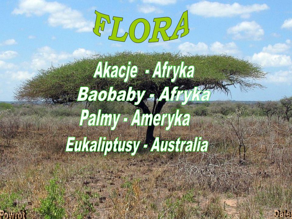Eukaliptusy - Australia