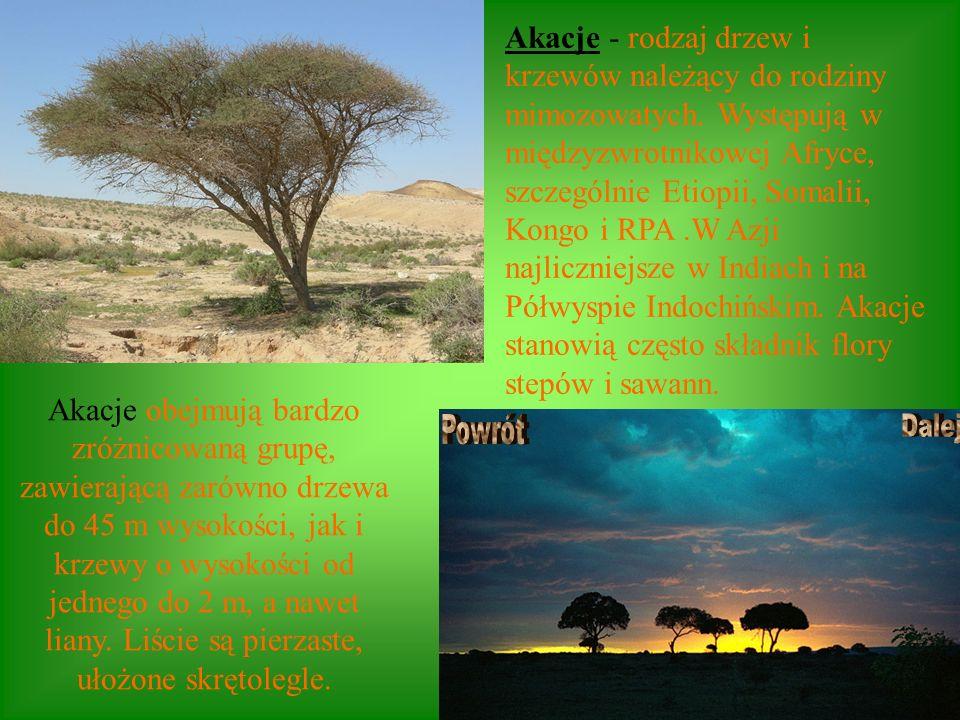 Akacje - rodzaj drzew i krzewów należący do rodziny mimozowatych