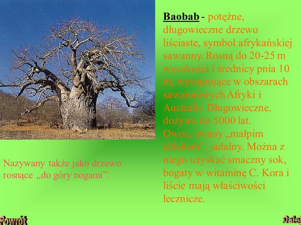 """Baobab - potężne, długowieczne drzewo liściaste, symbol afrykańskiej sawanny. Rosną do 20-25 m wysokości i średnicy pnia 10 m, występujące w obszarach sawannowych Afryki i Australii. Długowieczne, dożywa do 5000 lat. Owoc, zwany """"małpim chlebem , jadalny. Można z niego uzyskać smaczny sok, bogaty w witaminę C. Kora i liście mają właściwości lecznicze."""