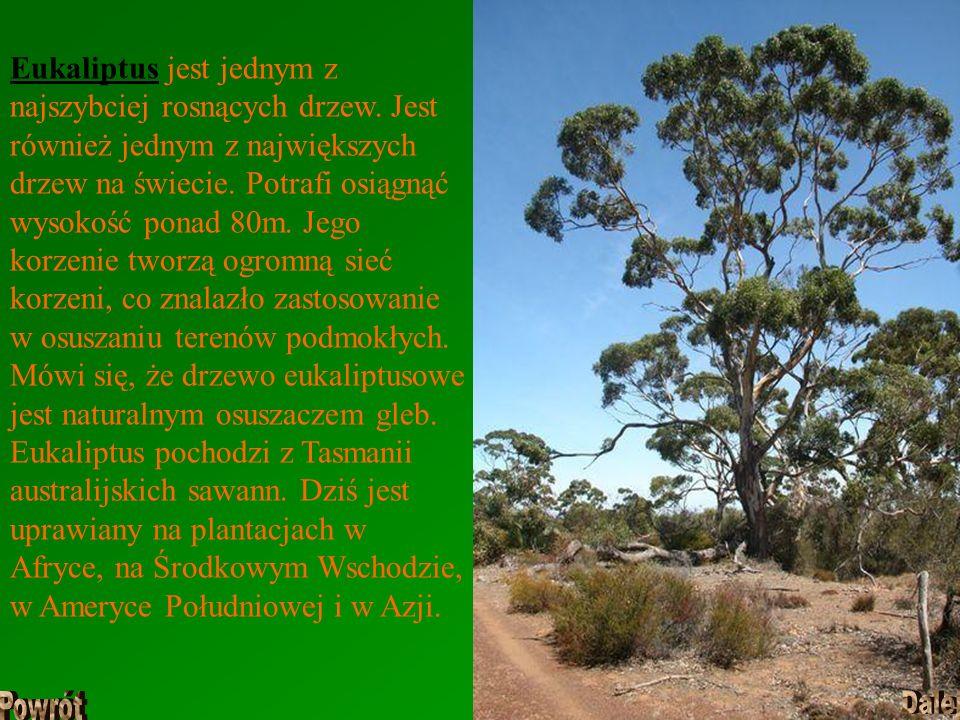 Eukaliptus jest jednym z najszybciej rosnących drzew