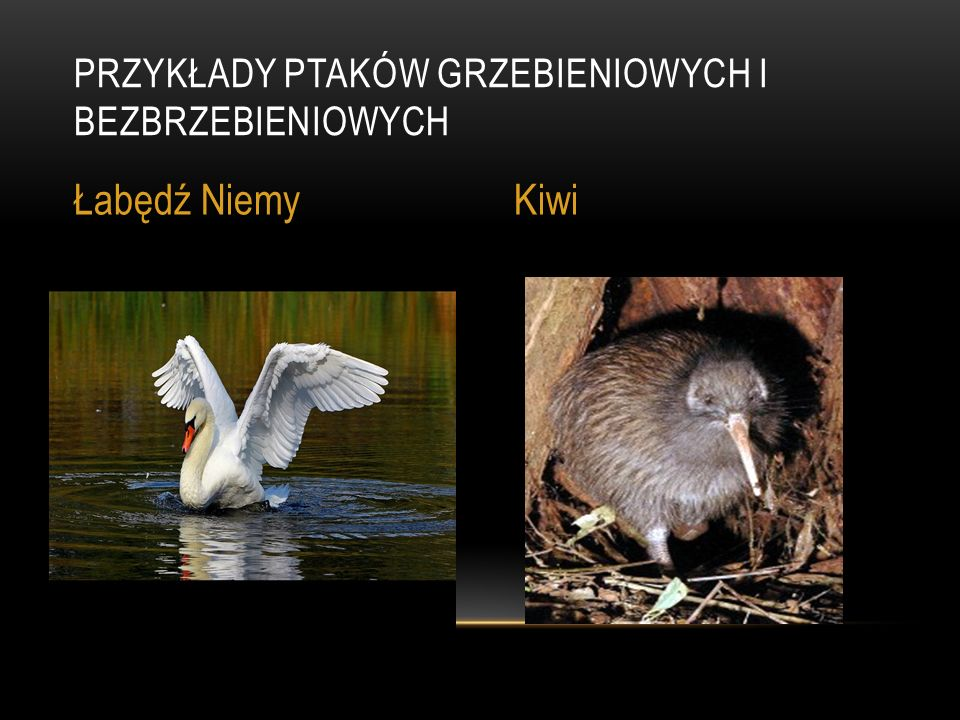 Przykłady ptaków grzebieniowych i bezbrzebieniowych