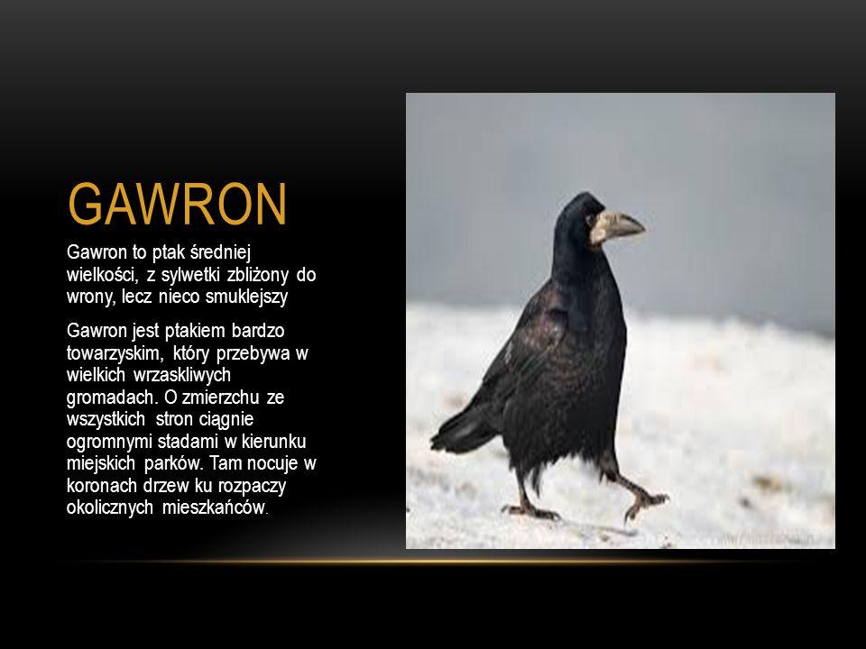 GAWRON Gawron to ptak średniej wielkości, z sylwetki zbliżony do wrony, lecz nieco smuklejszy.