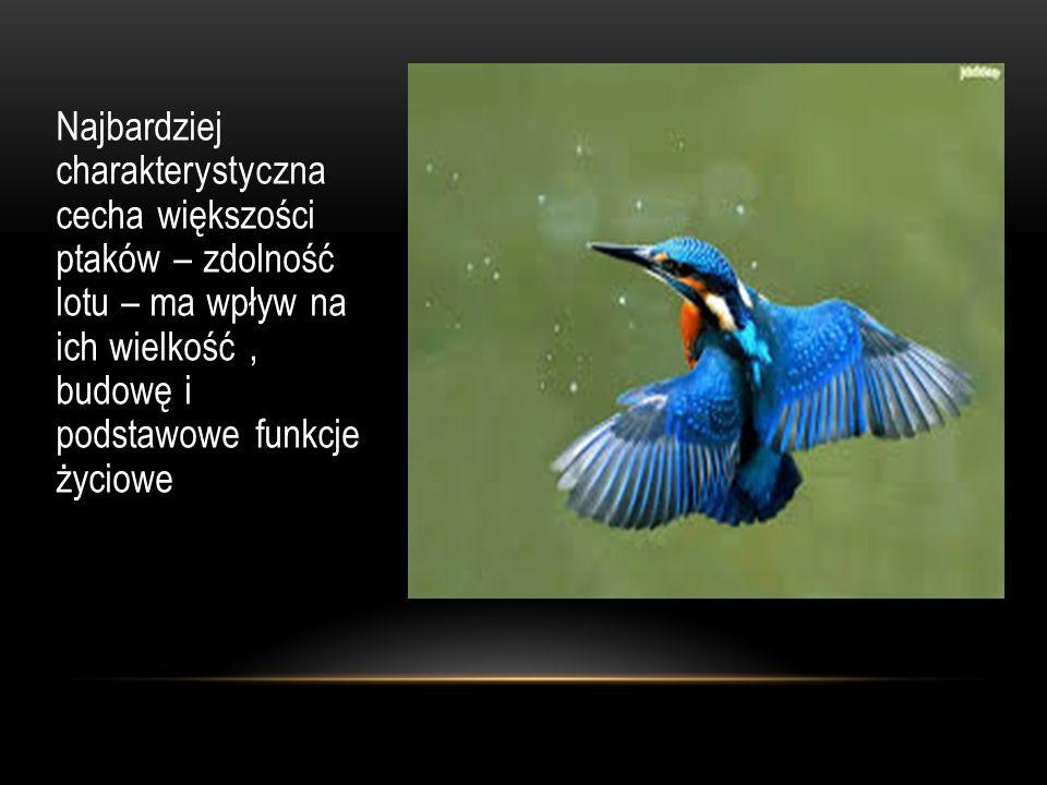 Najbardziej charakterystyczna cecha większości ptaków – zdolność lotu – ma wpływ na ich wielkość , budowę i podstawowe funkcje życiowe