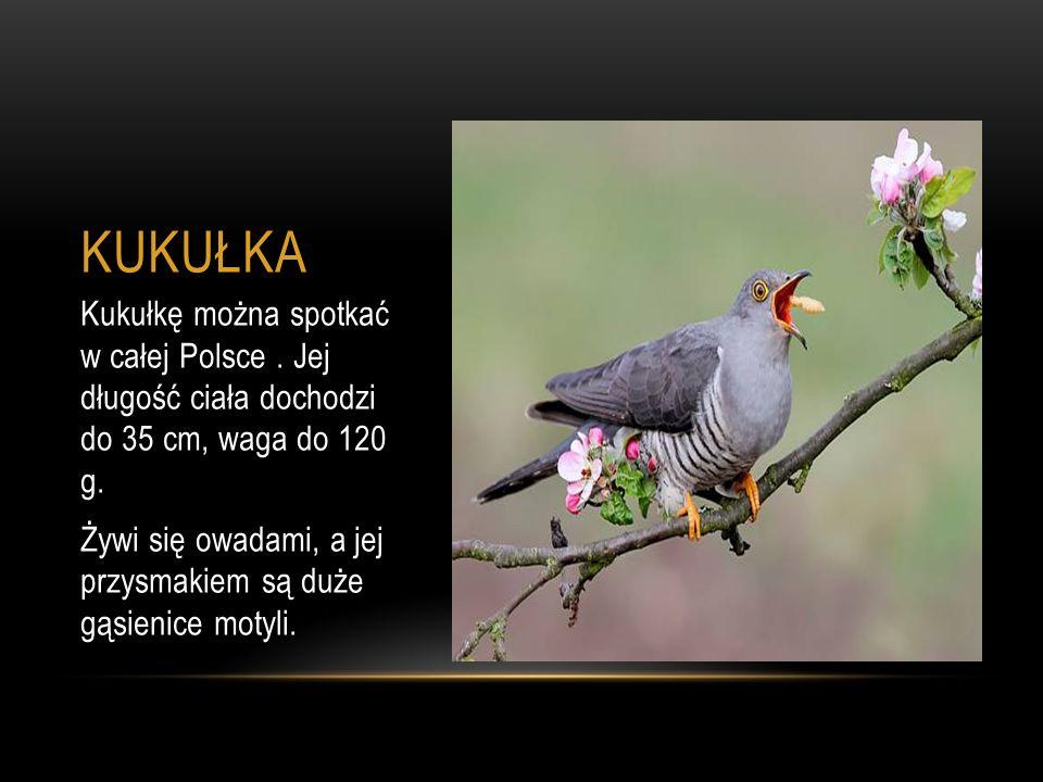 KUKUŁKA Kukułkę można spotkać w całej Polsce . Jej długość ciała dochodzi do 35 cm, waga do 120 g.