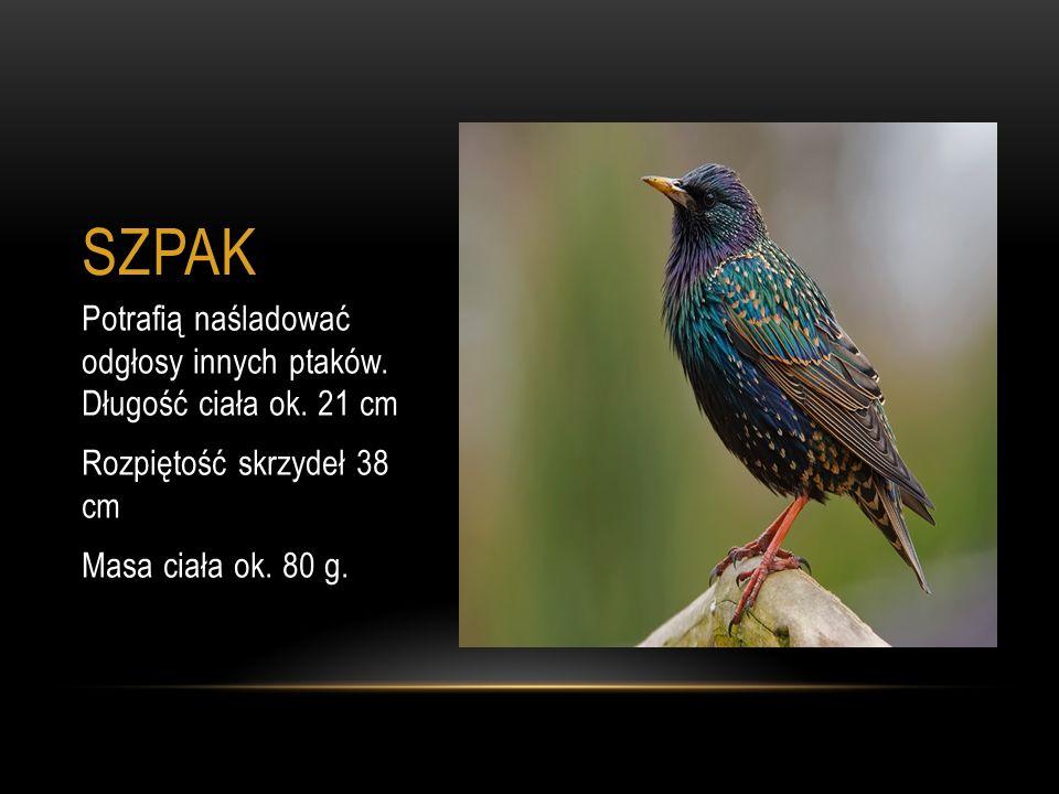 SZPAK Potrafią naśladować odgłosy innych ptaków. Długość ciała ok. 21 cm. Rozpiętość skrzydeł 38 cm.