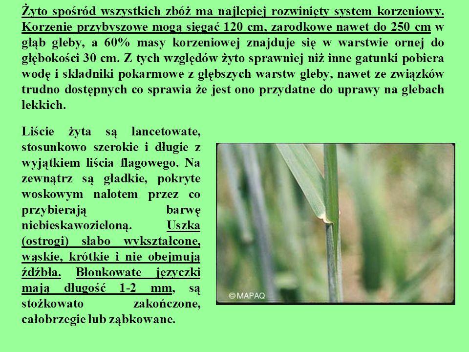 Żyto spośród wszystkich zbóż ma najlepiej rozwinięty system korzeniowy