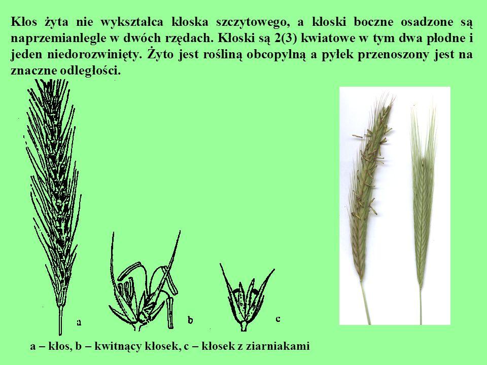 Kłos żyta nie wykształca kłoska szczytowego, a kłoski boczne osadzone są naprzemianlegle w dwóch rzędach. Kłoski są 2(3) kwiatowe w tym dwa płodne i jeden niedorozwinięty. Żyto jest rośliną obcopylną a pyłek przenoszony jest na znaczne odległości.
