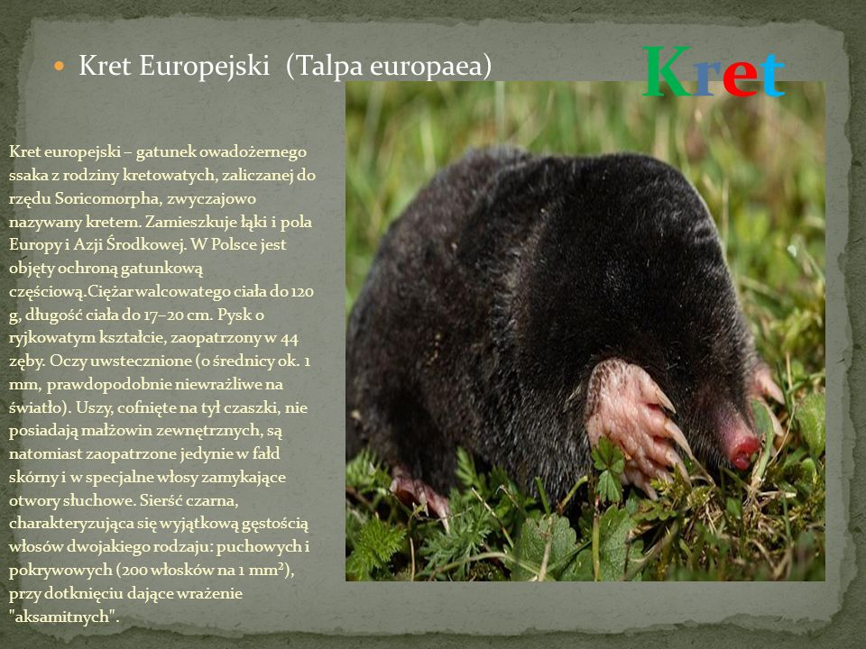 Kret Kret Europejski (Talpa europaea)