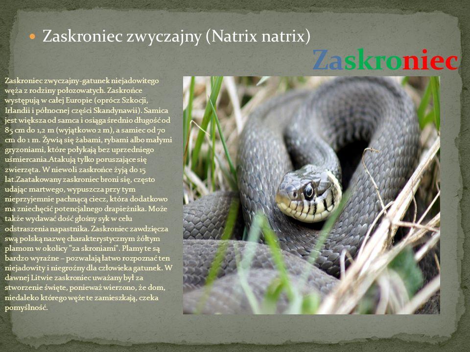 Zaskroniec Zaskroniec zwyczajny (Natrix natrix)