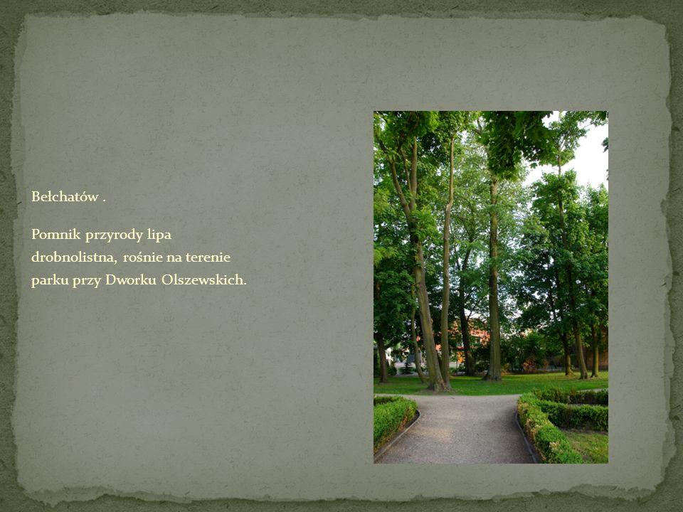 Bełchatów . Pomnik przyrody lipa drobnolistna, rośnie na terenie parku przy Dworku Olszewskich.