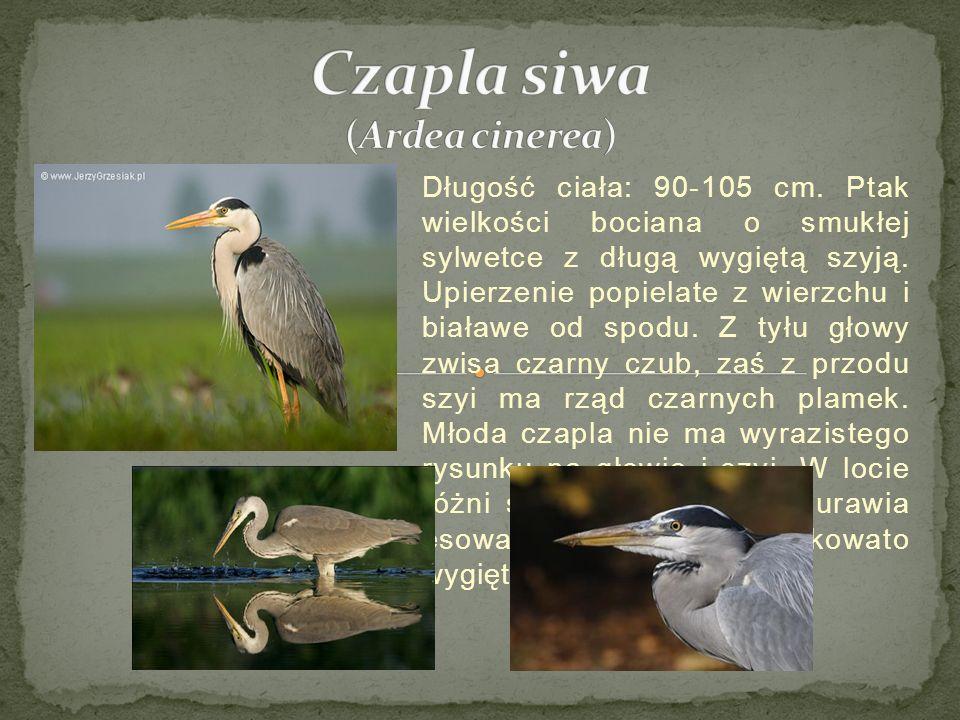 Czapla siwa (Ardea cinerea)