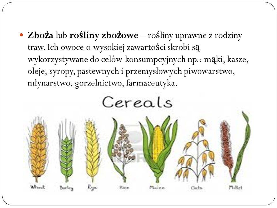 Zboża lub rośliny zbożowe – rośliny uprawne z rodziny traw