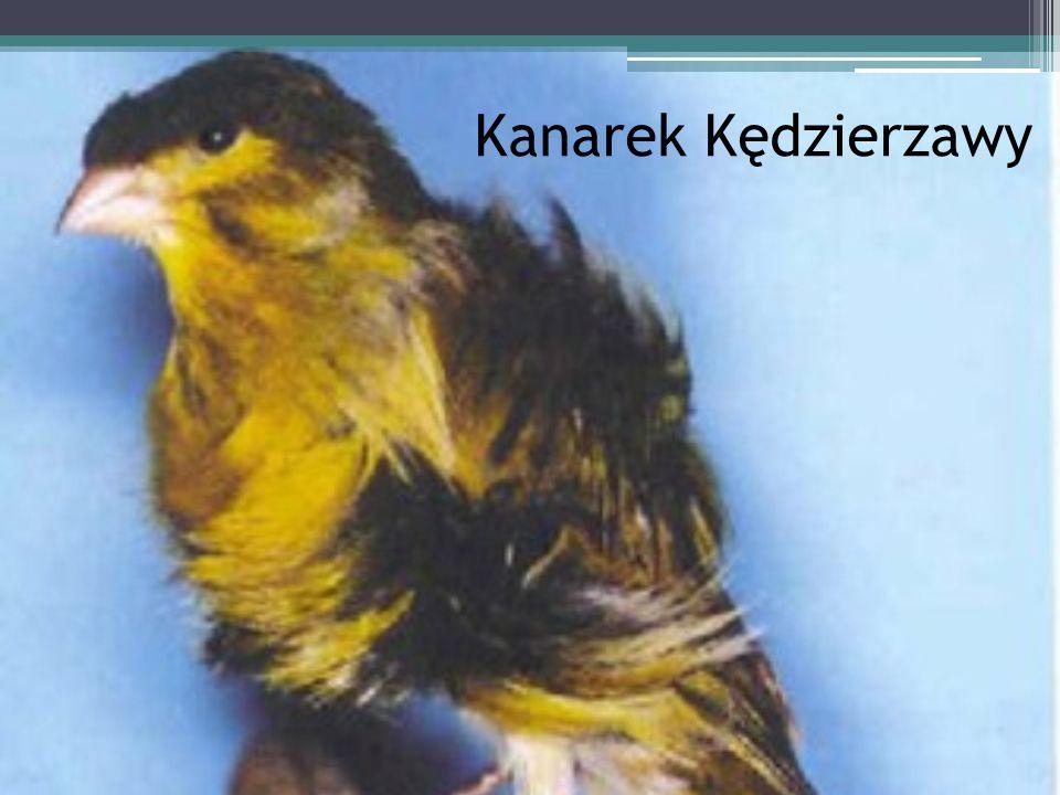 Kanarek Kędzierzawy