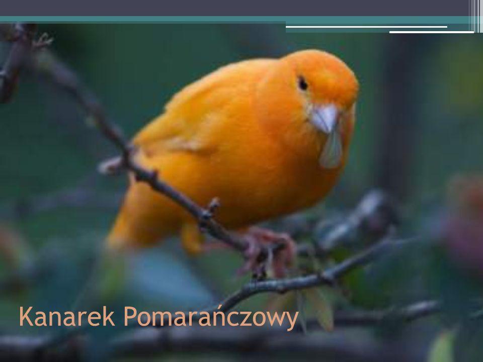 Kanarek Pomarańczowy
