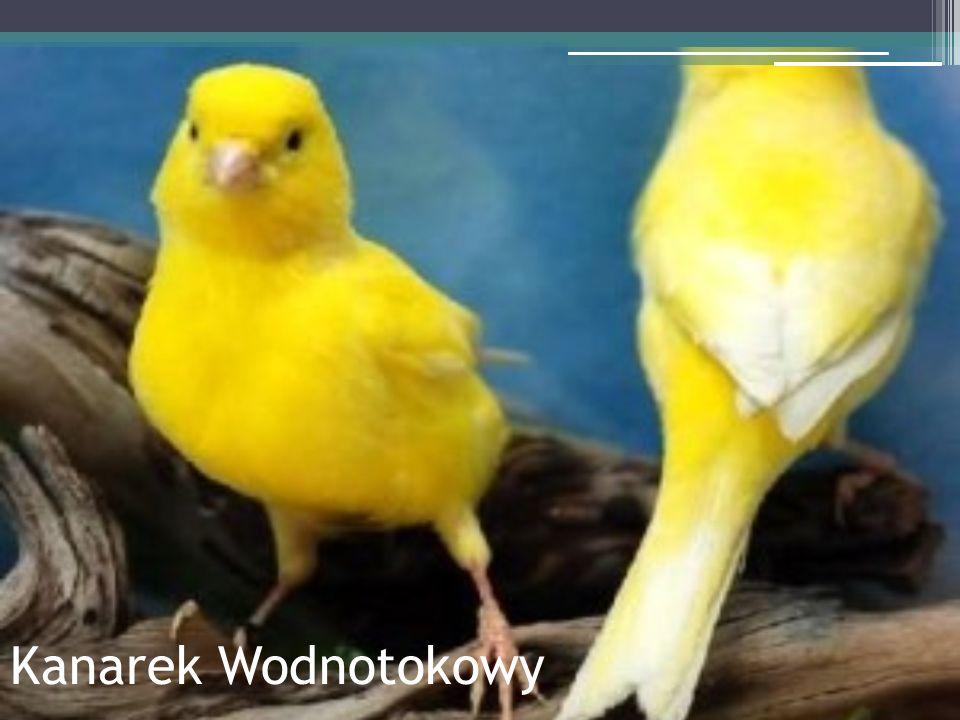 Kanarek Wodnotokowy