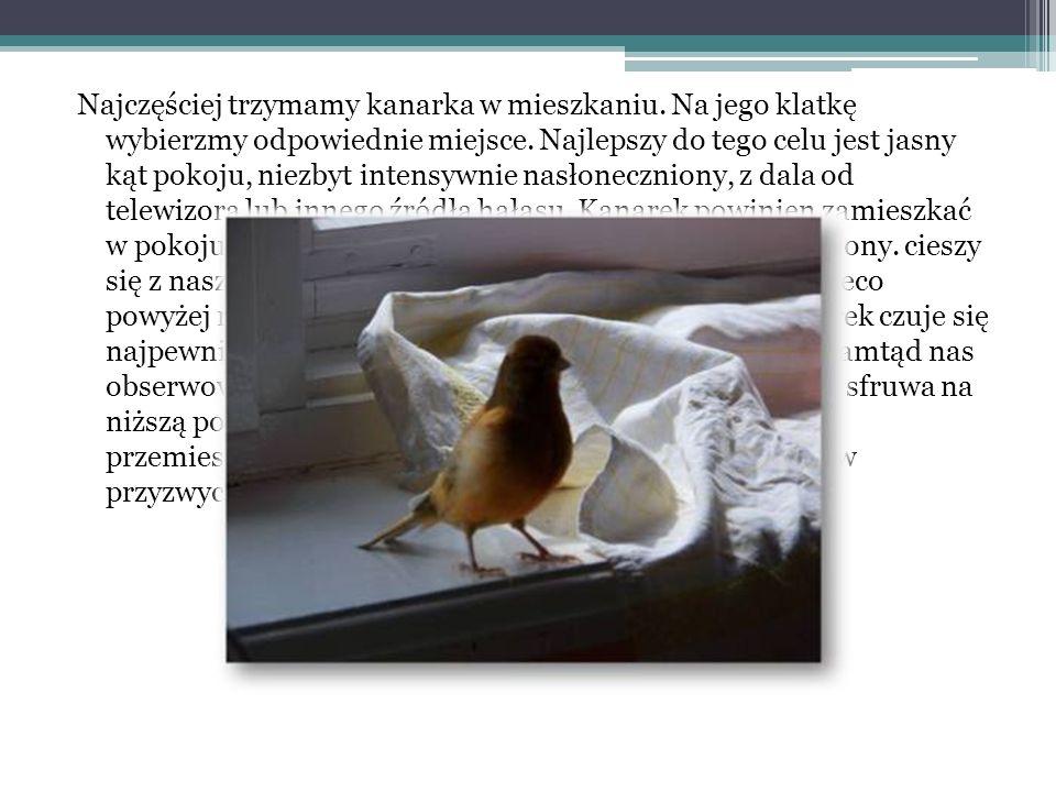 Najczęściej trzymamy kanarka w mieszkaniu
