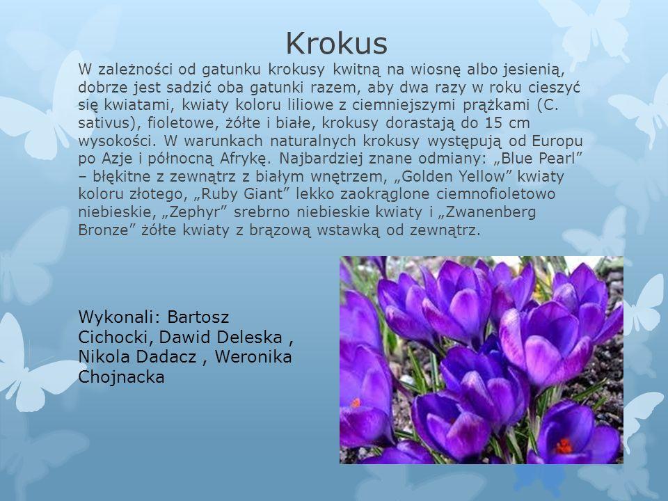 """W zależności od gatunku krokusy kwitną na wiosnę albo jesienią, dobrze jest sadzić oba gatunki razem, aby dwa razy w roku cieszyć się kwiatami, kwiaty koloru liliowe z ciemniejszymi prążkami (C. sativus), fioletowe, żółte i białe, krokusy dorastają do 15 cm wysokości. W warunkach naturalnych krokusy występują od Europu po Azje i północną Afrykę. Najbardziej znane odmiany: """"Blue Pearl – błękitne z zewnątrz z białym wnętrzem, """"Golden Yellow kwiaty koloru złotego, """"Ruby Giant lekko zaokrąglone ciemnofioletowo niebieskie, """"Zephyr srebrno niebieskie kwiaty i """"Zwanenberg Bronze żółte kwiaty z brązową wstawką od zewnątrz."""