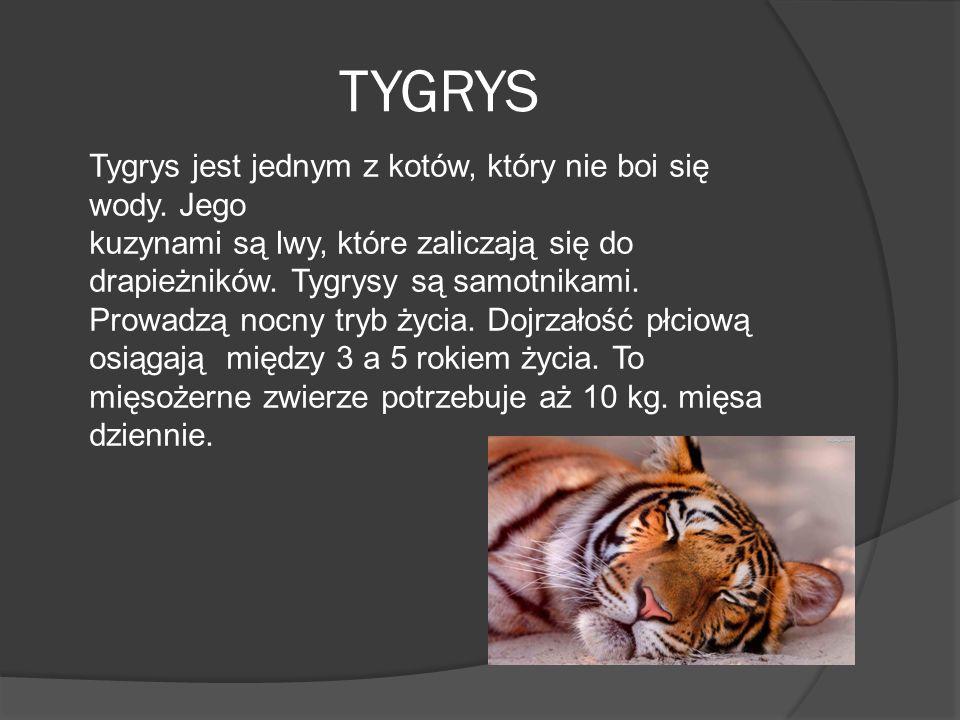 TYGRYS Tygrys jest jednym z kotów, który nie boi się wody. Jego