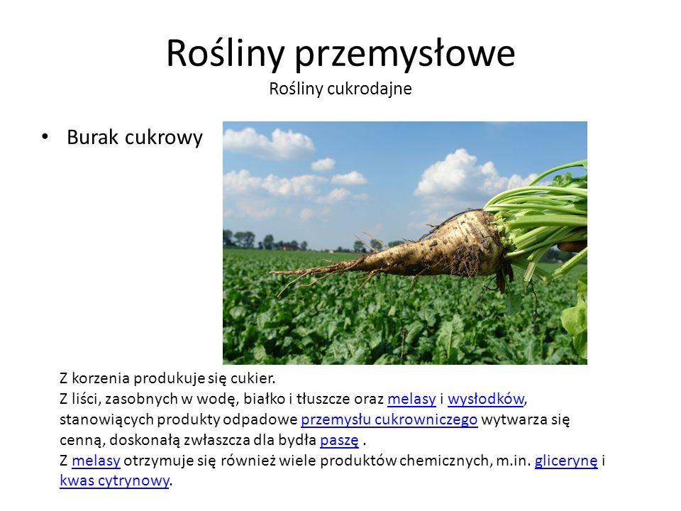 Rośliny przemysłowe Rośliny cukrodajne