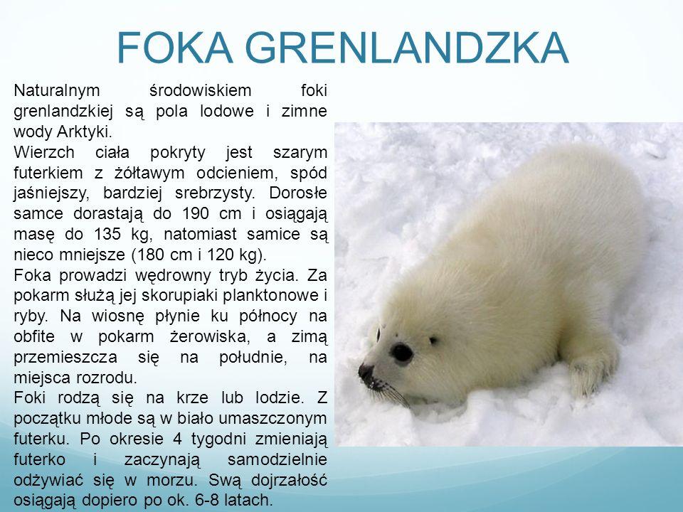 FOKA GRENLANDZKA Naturalnym środowiskiem foki grenlandzkiej są pola lodowe i zimne wody Arktyki.