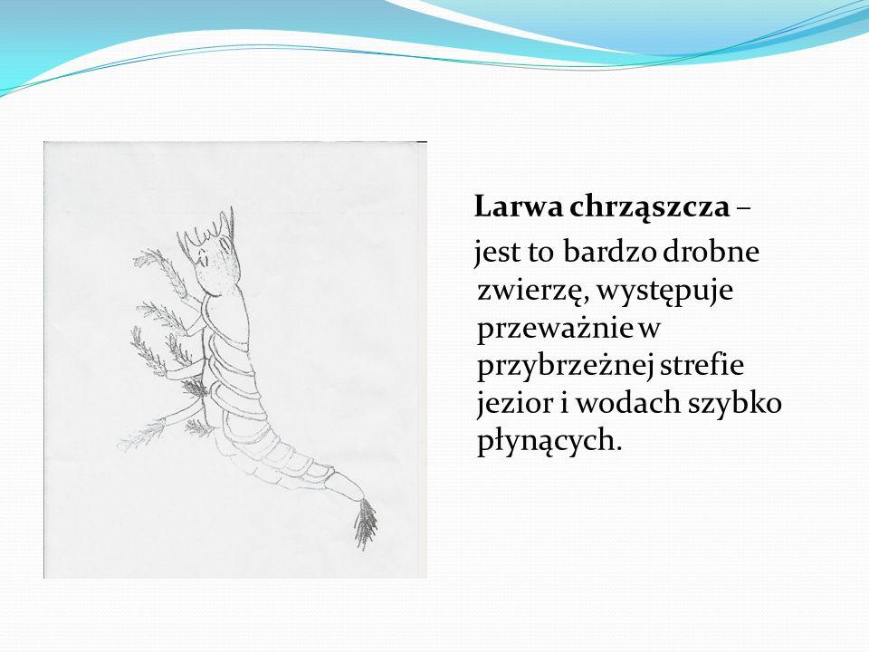 Larwa chrząszcza – jest to bardzo drobne zwierzę, występuje przeważnie w przybrzeżnej strefie jezior i wodach szybko płynących.