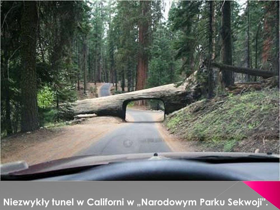 """Niezwykły tunel w Californi w """"Narodowym Parku Sekwoji ."""