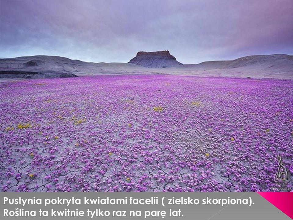 Pustynia pokryta kwiatami facelii ( zielsko skorpiona)