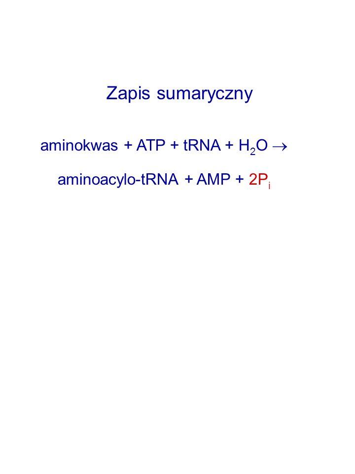 Zapis sumaryczny aminokwas + ATP + tRNA + H2O 