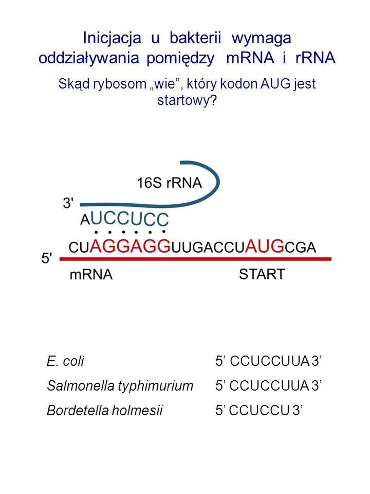 Inicjacja u bakterii wymaga oddziaływania pomiędzy mRNA i rRNA
