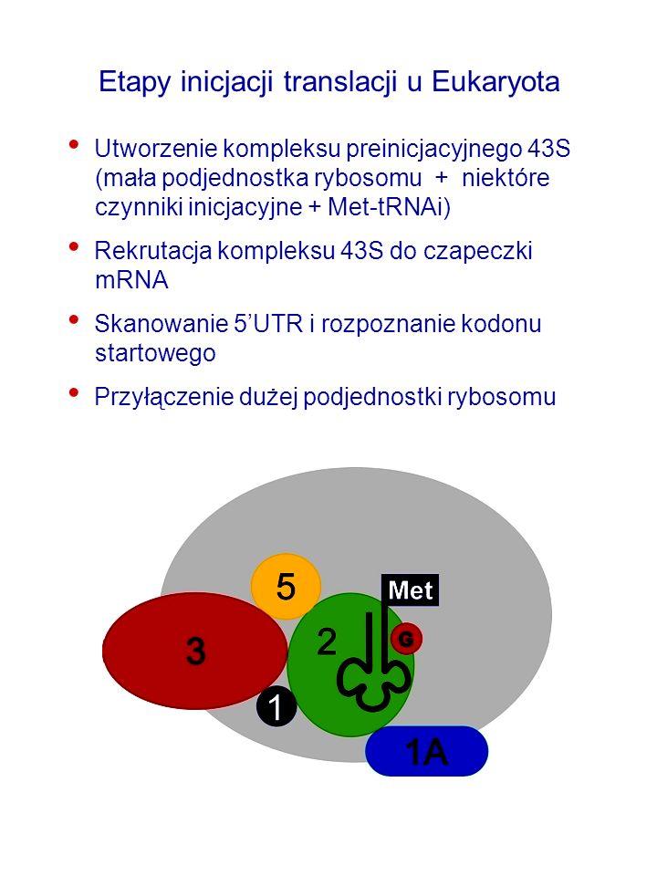 Etapy inicjacji translacji u Eukaryota