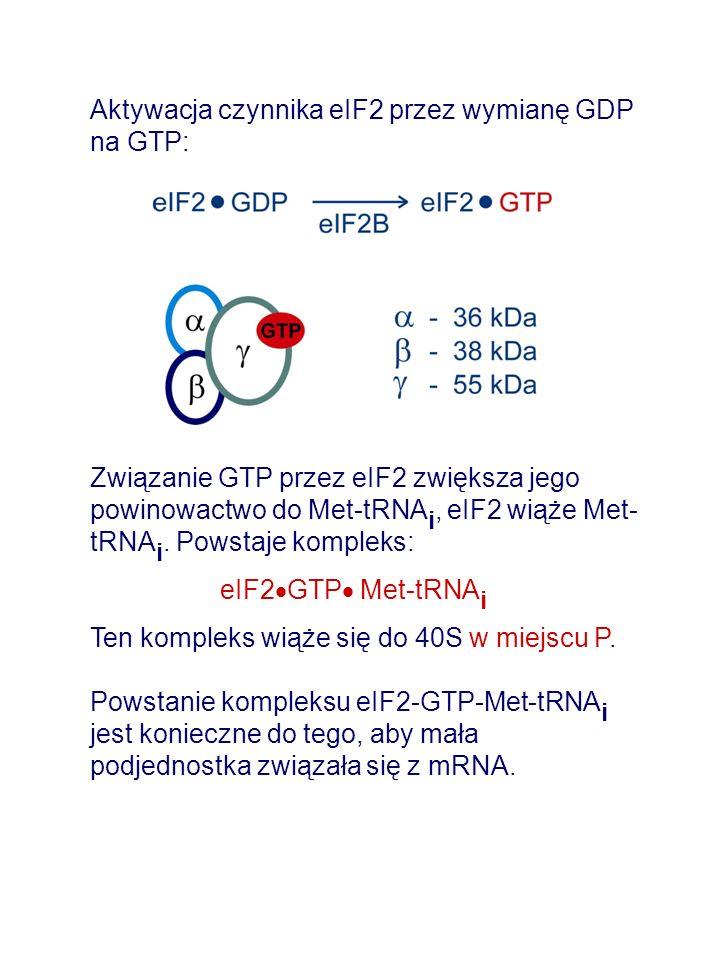 Aktywacja czynnika eIF2 przez wymianę GDP na GTP: