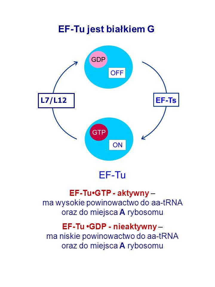 EF-Tu jest białkiem G EF-Tu•GTP - aktywny –