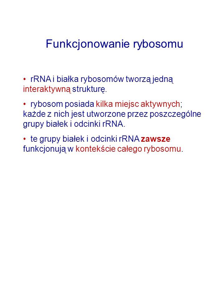 Funkcjonowanie rybosomu