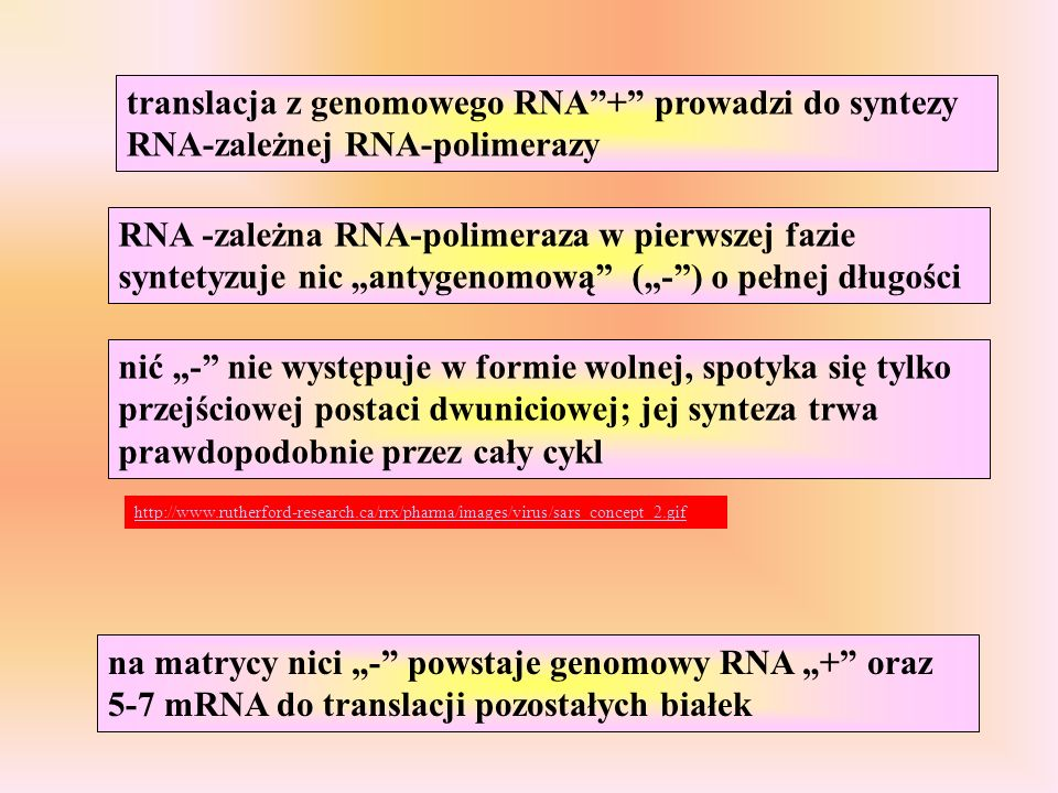 translacja z genomowego RNA + prowadzi do syntezy RNA-zależnej RNA-polimerazy