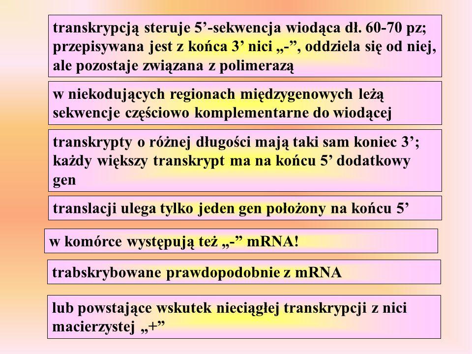 transkrypcją steruje 5'-sekwencja wiodąca dł