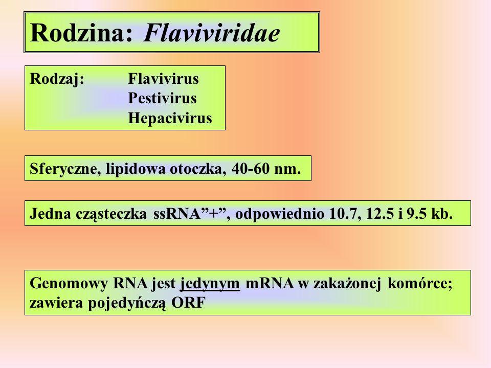 Rodzina: Flaviviridae