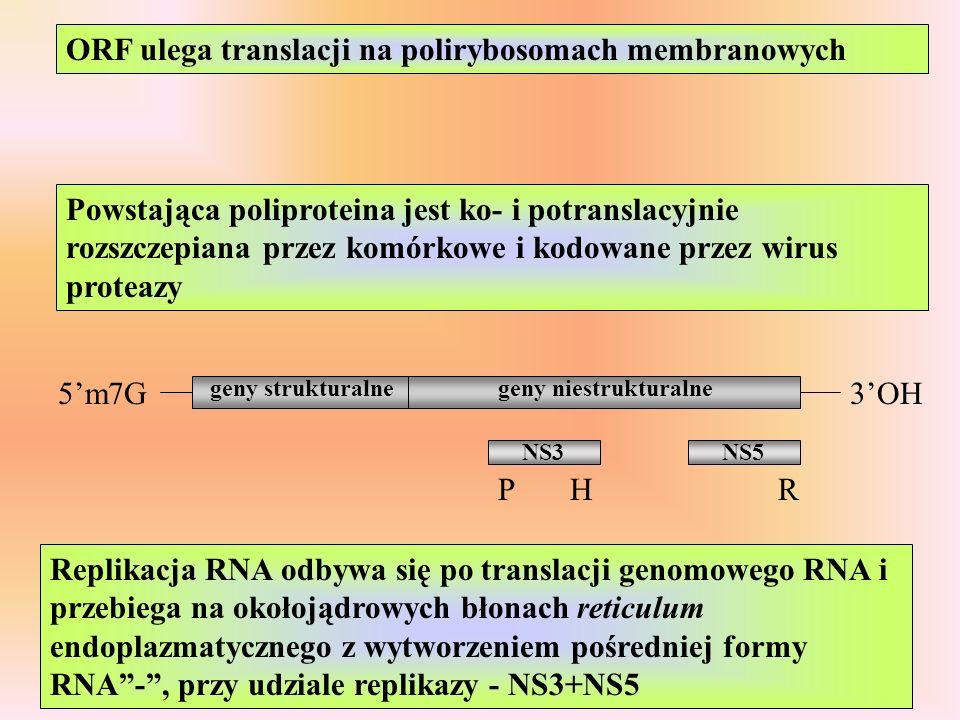 ORF ulega translacji na polirybosomach membranowych