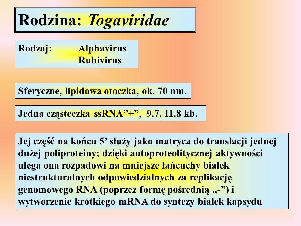Rodzina: Togaviridae Rodzaj: Alphavirus Rubivirus