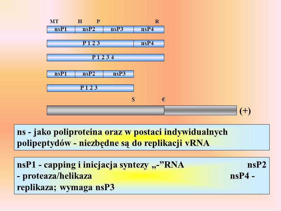 MT H. P. R. nsP1. nsP2. nsP3. nsP4. P 1 2 3. nsP4. P 1 2 3 4. nsP1. nsP2. nsP3. P 1 2 3.