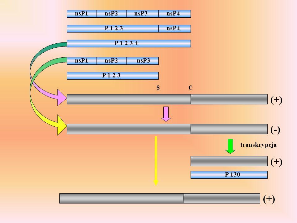 (+) (-) (+) (+) nsP1 nsP2 nsP3 nsP4 P 1 2 3 nsP4 P 1 2 3 4 nsP1 nsP2