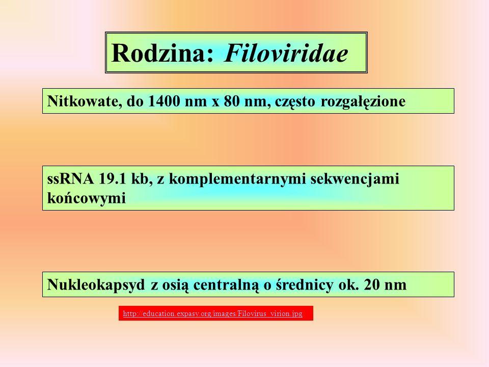 Rodzina: Filoviridae Nitkowate, do 1400 nm x 80 nm, często rozgałęzione. ssRNA 19.1 kb, z komplementarnymi sekwencjami końcowymi.