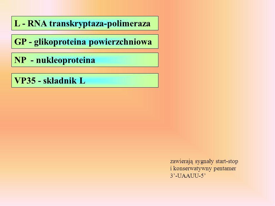 L - RNA transkryptaza-polimeraza