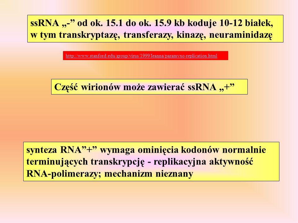 """Część wirionów może zawierać ssRNA """"+"""