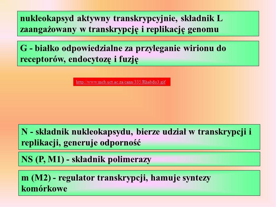 NS (P, M1) - składnik polimerazy