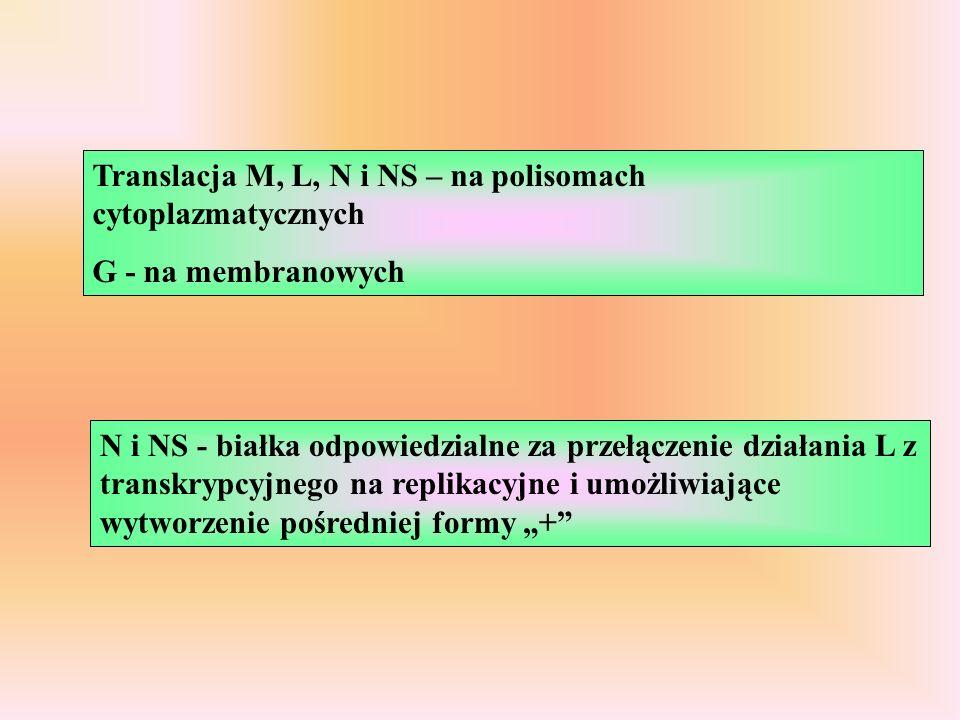 Translacja M, L, N i NS – na polisomach cytoplazmatycznych